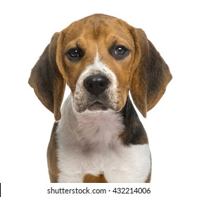 Close up of a Beagle isolated on white