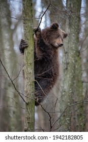 Close Bear cub clings to the side of the tree. Wildlife scene from nature