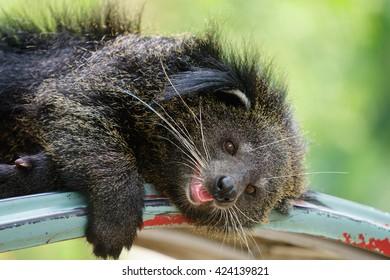 Close up Bearcat.