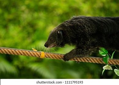 Close up the bearcat(Binturong or Arctictis Binturong ) climbing on the rope.