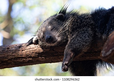 Close up the bearcat(Binturong or Arctictis Binturong ) sleeping on a tree in day.