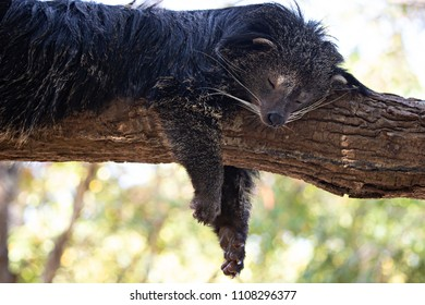 Close up the bearcat(Binturong or Arctictis Binturong ) sleeping on a tree in day.