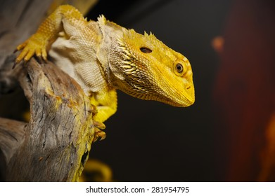 Close up of Bearded dragon on the wood