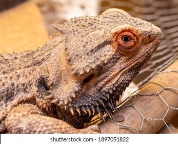 Close up in a bearded dragon (Pogona sp)
