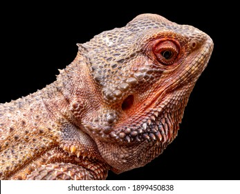 Close up in a bearded dragon (Pogona sp) in black background