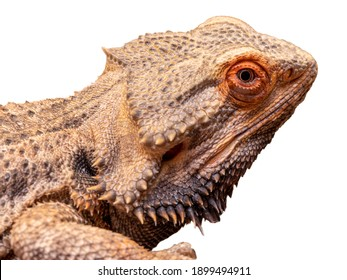 Close up in a bearded dragon (Pogona sp) in white background