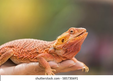 close up bearded dragon (Pogona Vitticeps ) australian lizard on hand selective soft focus