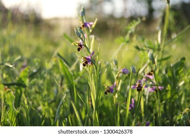 close up of beatiful purple wild bee orchid in a natural field in France