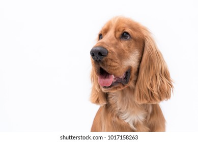 Close up of a beautiful 11 month old Golden Cocker Spaniel puppy looking to the side with his tongue sticking out