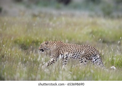 Close up beautiful African Leopard, Panthera pardus walking in early morning Kalahari. Leopardess in typical Kgalagadi environment against blurred grass on the dune. Side view,Kgalagadi,South Africa.