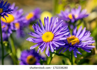 Close Up of a beautiful Aster alpinus flower. This particular species is the Aster alpinus Dunkle Schone. This plant is also known as the alpine aster or blue alpine daisy.