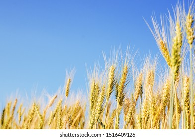 close up of beautiful barley field, plantation in northern of Thailand wait for harvest, low depth of field