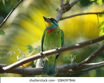 Close up of beautiful bird drilling the tree trunk. Taiwan barbet (Psilopogon nuchalis) perched on a tree branch in tropical rainforest.