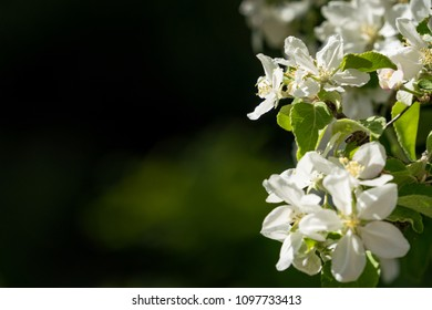Close up of beautiful blooming apple flowers with dark surroundings.