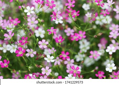 close up of beautiful blooming gypsophilia flower background