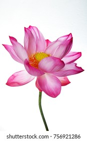 close up of beautiful blooming majestic lotus flower isolated on white background.