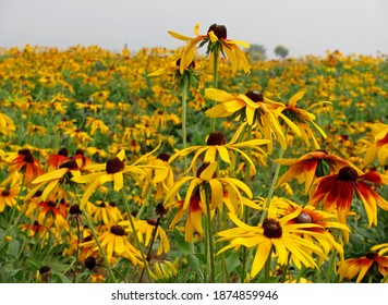 Close up of beautiful blooming yellow black-eyed Susan flower clump on blurred background of fresh flower filed at a hazy day in summer