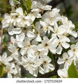 Close up of the beautiful blossom of a cherry ttree