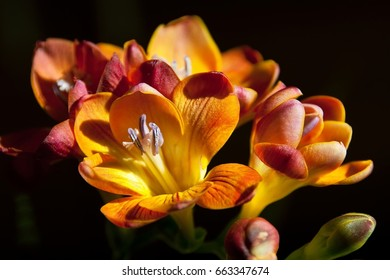 Close up beautiful blossom of red and yellow freesia flower (herbaceous perennial flowering plant) on black background.