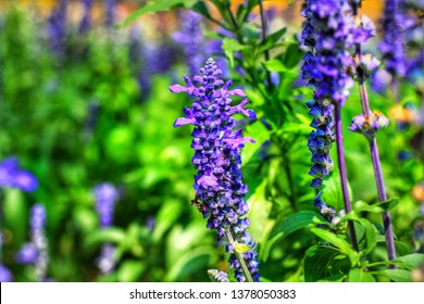 Close up beautiful blue Salvia (salvia farinacea) flower blooming in outdoor garden with blurred background.Purple Salvia is herbal plant in the mint family.Botanical,natural,Herb and flower concept.