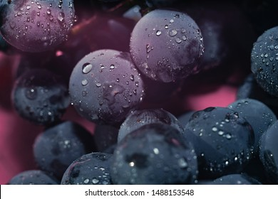 Close up beautiful blue wet Isabella grapes bunch background and pink light. Macro view.