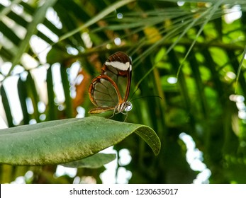 Close up of a beautiful brown and black with transparent wings butterfly hanging of a leaf of a branch of a tree at the Botanical Garden in Aarhus Denmark.