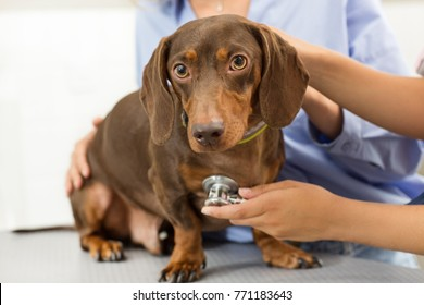 Close up of a beautiful brown dachshund on examining table at the vet clinic professional vet examining a dog while the owner is petting it health checkup canine care pets animals bree stethoscope