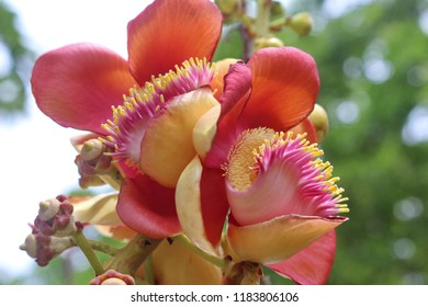 Close up beautiful cannonball flower or Sala flower (Couroupita guianensis),  , Selective focus, Blur background,  Sal of India. Cannonball Tree, Sala tree, Shorea robusta flowers.