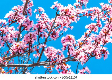 Close up of Beautiful Cherry Blossom Tree Branches