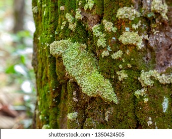 Close up beautiful clumps of white and light green fresh mosses or Leucobryum grows on bark trunk of large tree in fertile forest at Phu Khieo Wildlife Sanctuary, Chaiyaphum, Thailand.
