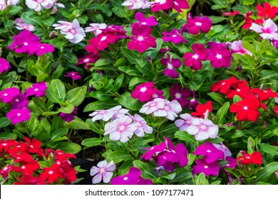 Close up beautiful and colorful Madagascar periwinkle flower ( Catharanthus roseus ) in garden