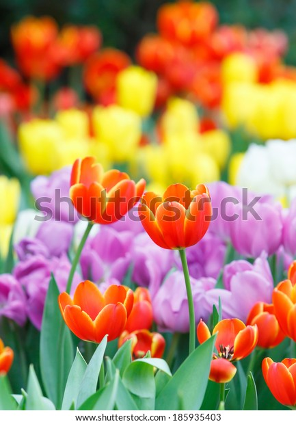 Close up beautiful colorful tulip flower background