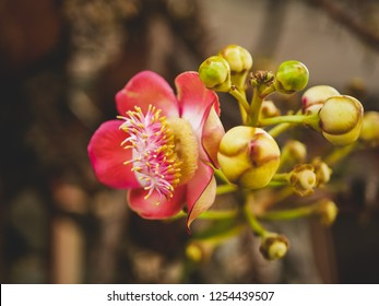 Close up of beautiful Couroupita guianensis flower on brown blurred background. Red Sal flowers with pink pollen, Cannonball Tree, Sal Tree.