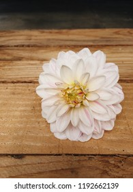 Close up of beautiful Dahlia blossom on wooden rustic background, white petals with purple tips