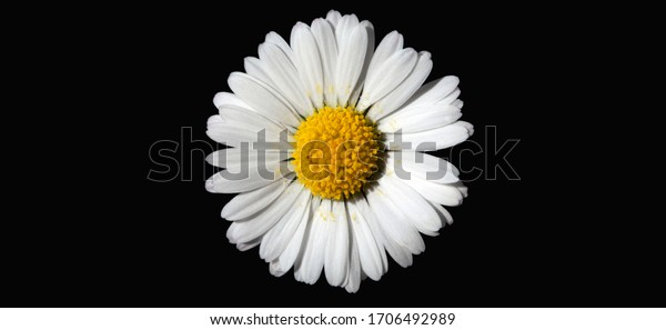Close up of a beautiful daisy flower isolated on a black background. Space for text on the left and right.