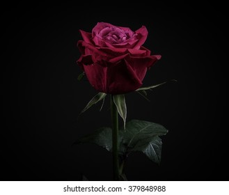 Close up of beautiful dark red rose isolated on black.