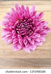 Close up of beautiful decorative Dahlia Lucky Number flower on wooden  background