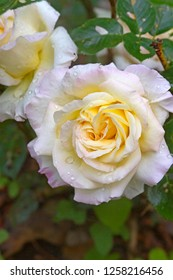 Close up of the beautiful and delicate pink and yellow blushing petals of the Peace Rose in summertime