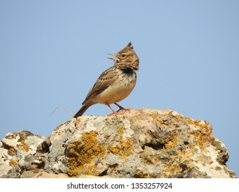 Close up of  beautiful desert lark standing on stone against blue sky