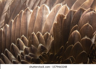 Close up of beautiful Eagle feathers in nature.