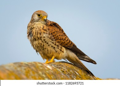 A close up of a beautiful female Lesser kestrel (Falco naumanni) from region Castilla-La Mancha in Spain.  Magnificent bird of prey sitting on a surface covered with a yellow lichen.