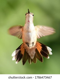 close up of beautiful female rufous hummingbird in flight in summer in broomfield, colorado