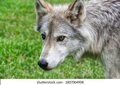 Close Up of a Beautiful Female Wolfdog