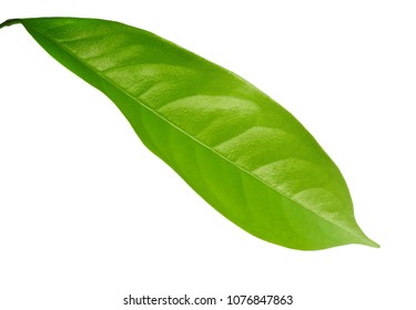 Close Up of Beautiful Fresh Green Leaf Isolated on A White Background.
