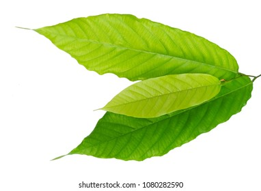 Close Up of Beautiful Fresh Green Leaves Isolated on A White Background.