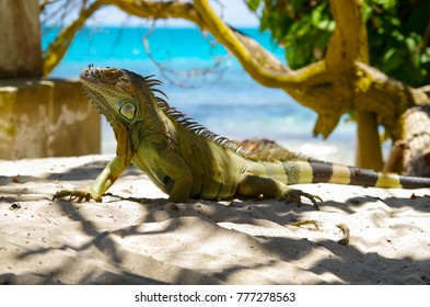 Close up of a beautiful green iguana resting over a sand in san Andres beach in a beautiful burred nature background