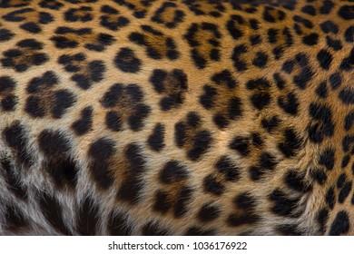 Close up of a beautiful leopard skin background.