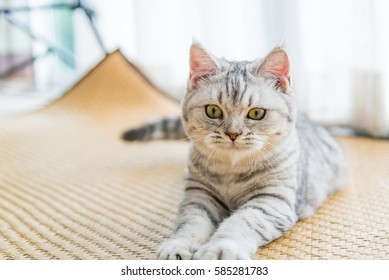 Close up of beautiful light grey cat play and looking in home.