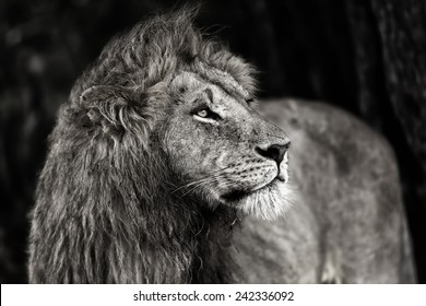 Close up of a beautiful Lion in Masai Mara, Kenya