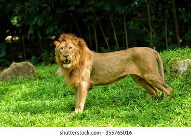 Close up of beautiful lion, selective focus.